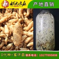 【状元天麻】天麻种子 乌红杂交种子 天麻蜜环菌 黄豆 套餐30组起