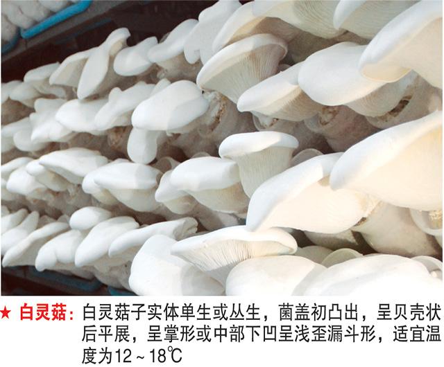 白灵菇-试管母种