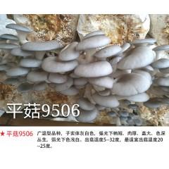 平菇-试管母种