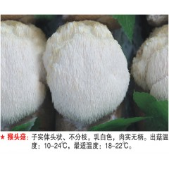 猴头菇-试管母种