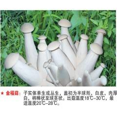 金福菇-试管母种
